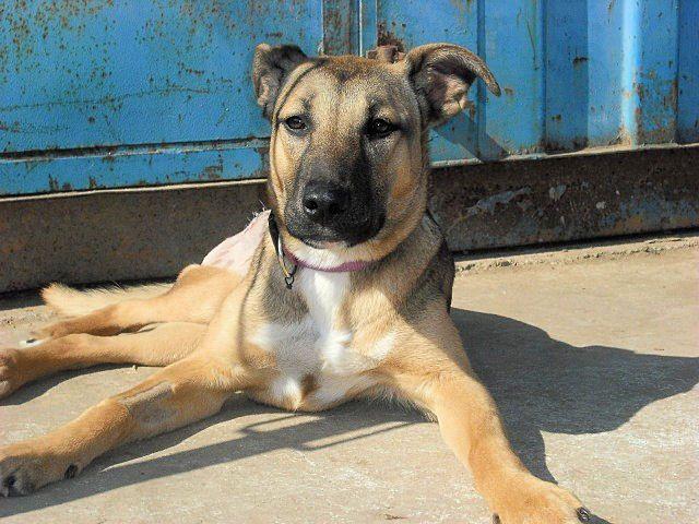 Angela Schaferhund Mischling Ca 2 Jahr Home4dogs