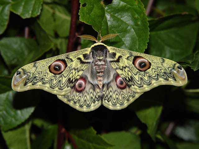 Caligula Anna Sri Lanka Schone Schmetterlinge Schmeterlinge