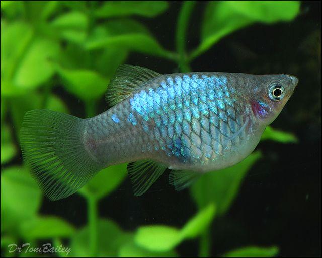 Platy fish in an aquarium fish tank pinterest for Platy fish breeding