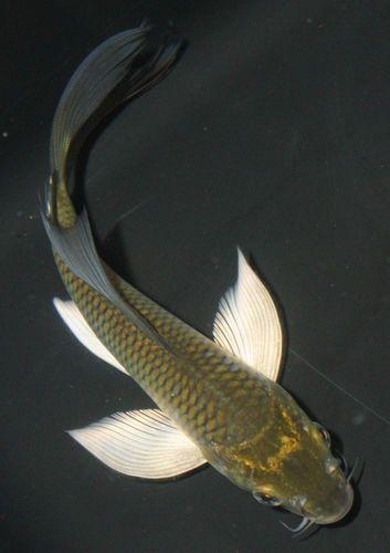 5 6 chagoi butterfly live koi pond fish koibay long white for Petco koi fish