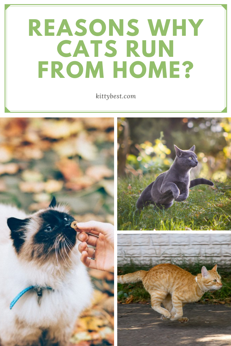 Reasons Why Cats Run From Home Cat Run Cat Care Cats