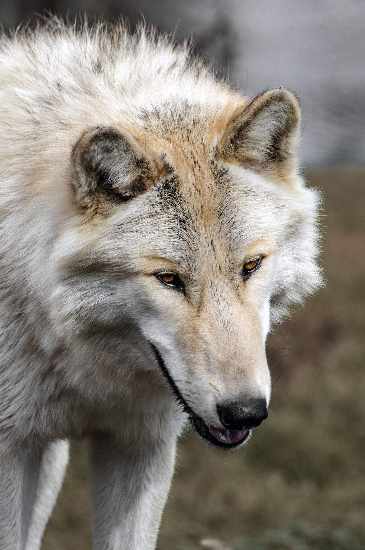 This is one happy looking wolf!