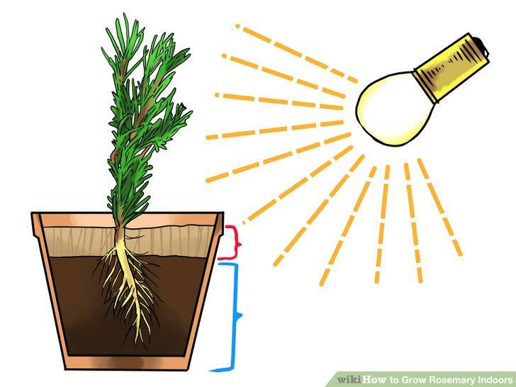 Grow Rosemary Indoors Growing Herbs Growing Herbs 400 x 300