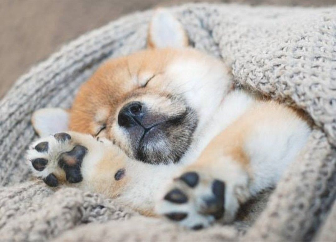 Pin by 璉儀 杞 on plaatjes sleeping puppies new puppy puppies