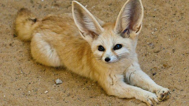 Feneco tamb m conhecidos como raposas do deserto os - Pagina da colorare fennec fox ...