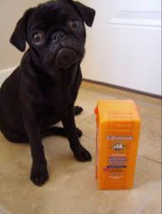 Pugs And Cheese Sick Dog Funny Dog Pictures Can Dogs Eat