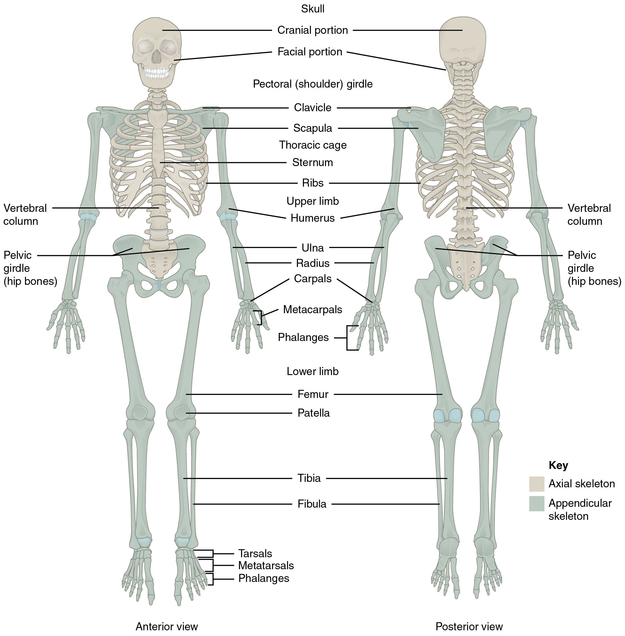 Major Bones Of The Human Skeleton Anatomy Divisions Of The