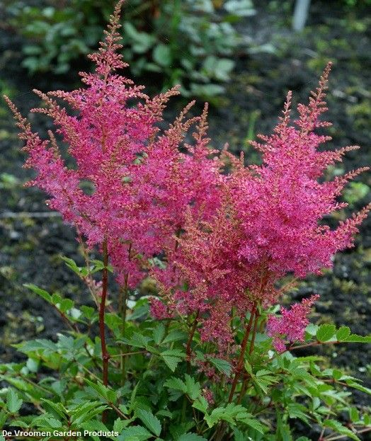 Astilbe Younique Lilac Verslilac False Spirea Astilbe Variegated Plants Perennial Grasses