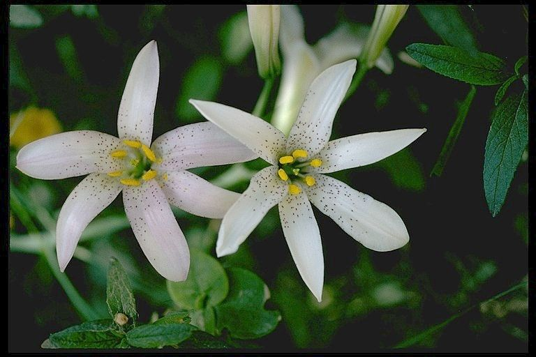 Lilium rubescens is an uncommon species of lily known by the common names redwood lily and chaparral lily. It is endemic to California. As its names suggest, it is a member of the flora in redwood forest understory and chaparral habitat types.