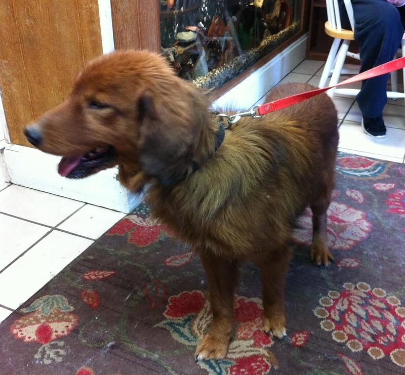 Adopt Angus On Irish Setter Pet Adoption Pets