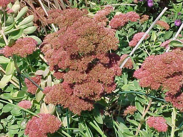 Low-maintenance Perennials (MO) –     	Hylotelephium 'Herbstfreude' AUTUMN JOY  stonecrop  Herbaceous perennial     Need summer pruning to keep compact. Pinch up until mid July. Enjoy the late bloom time because it leads into mums and the seed heads hang on.