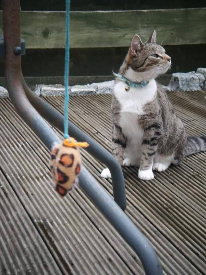 Grey Tabby Pierview Wicklow Ireland Grey Tabby Cats Tabby
