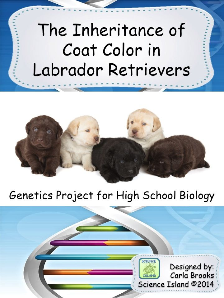 Genetics Project The Inheritance Of Coat Color In Labrador Retrievers High School Biology Classroom Biology Activity High School Biology