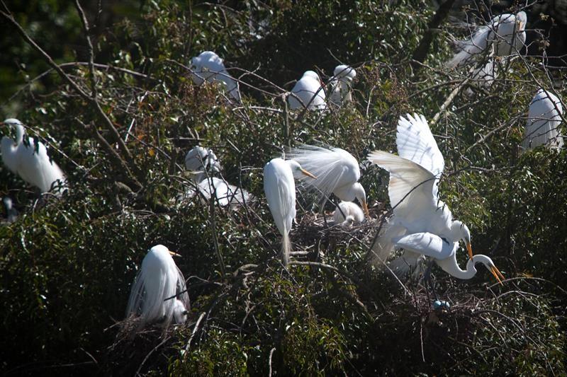 Garças brancas no Passeio Público.  Foto: Maurilio Cheli/SMCS.