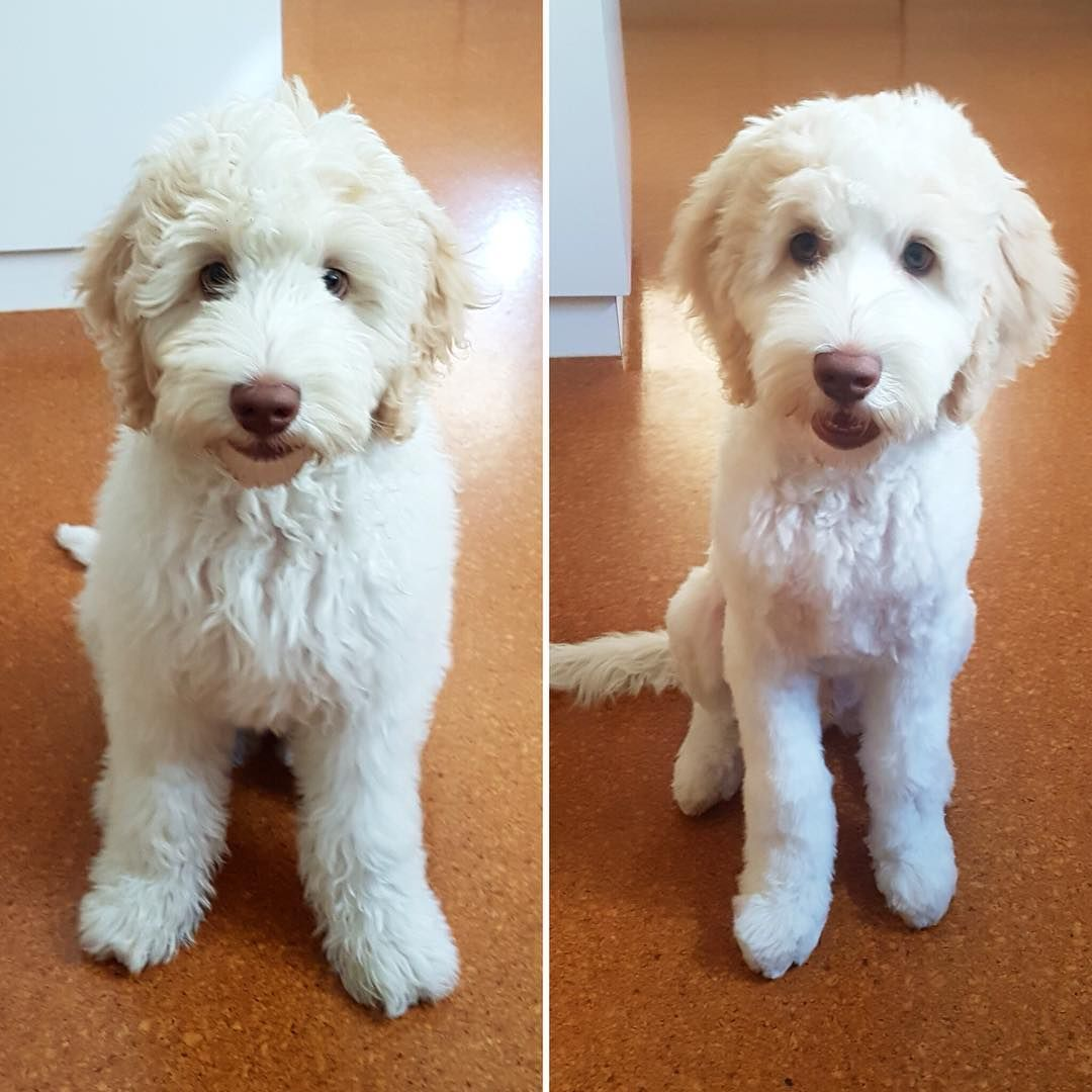 If You Re Considering Grooming Your Goldendoodle Consider One Of These Types Of Cute Goldendoodle H Goldendoodle Grooming Puppy Grooming Goldendoodle Haircuts