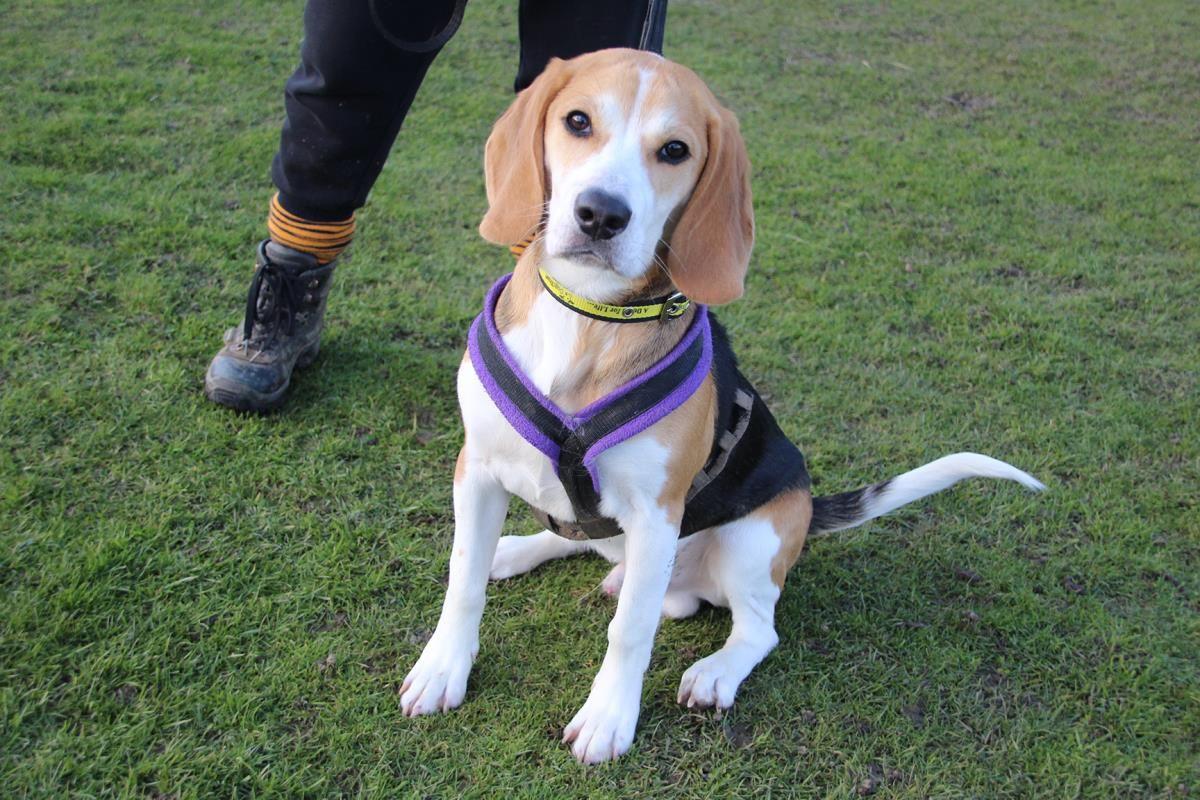 Beagle Meets The Baby Loyal Dog Breeds Cute Beagles Puppies