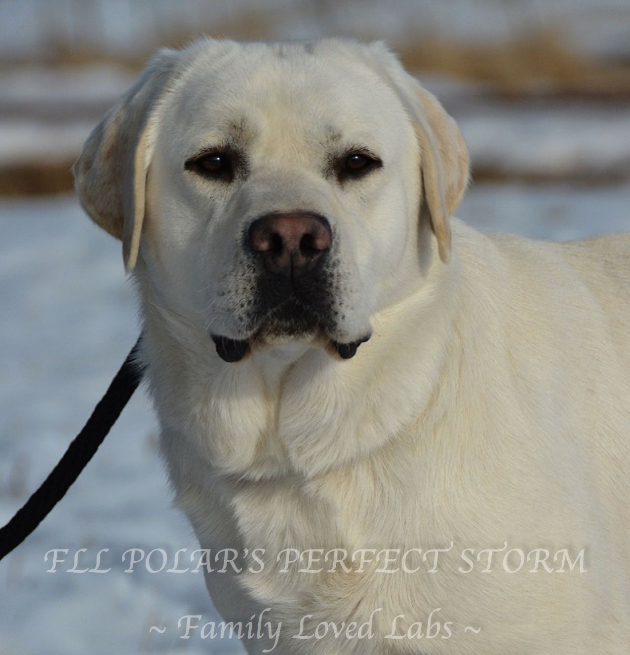 Fll Polar S Perfect Storm Family Loved Labs Akc Registered English Lab Beautiful White English Labrador Retriever Labrador Dog Labrador Retriever Dogs