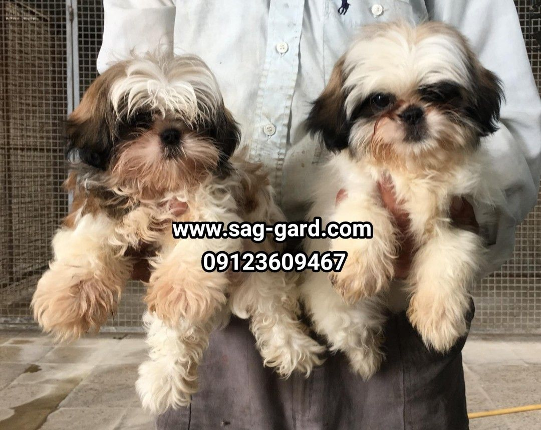 فروش سگ خانگی شیتزو سوپرفلت 09123609467 Animals Dogs