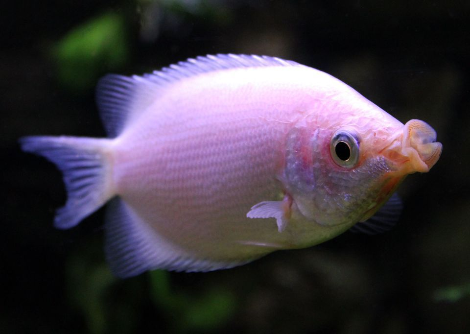 Learn How To Take Care Of The Kissing Gourami Kisser Fish Kissing Gourami Aquarium Fish Freshwater Fish