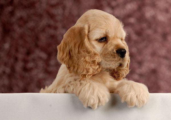 Cocker Spaniel Puppy @Courtney Baker Baker Baker Baker Baker schouwerwou it's lon!!