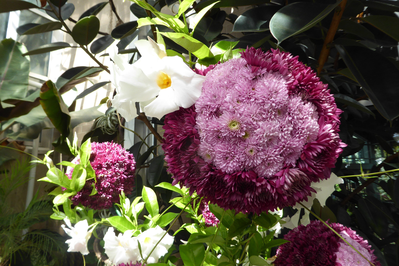 Frederick Meijer Gardens & Sculpture Park Chrysanthemums