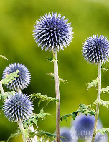 Veitch S Blue Globe Thistle Thistle Plant Sun Perennials Planting Bulbs