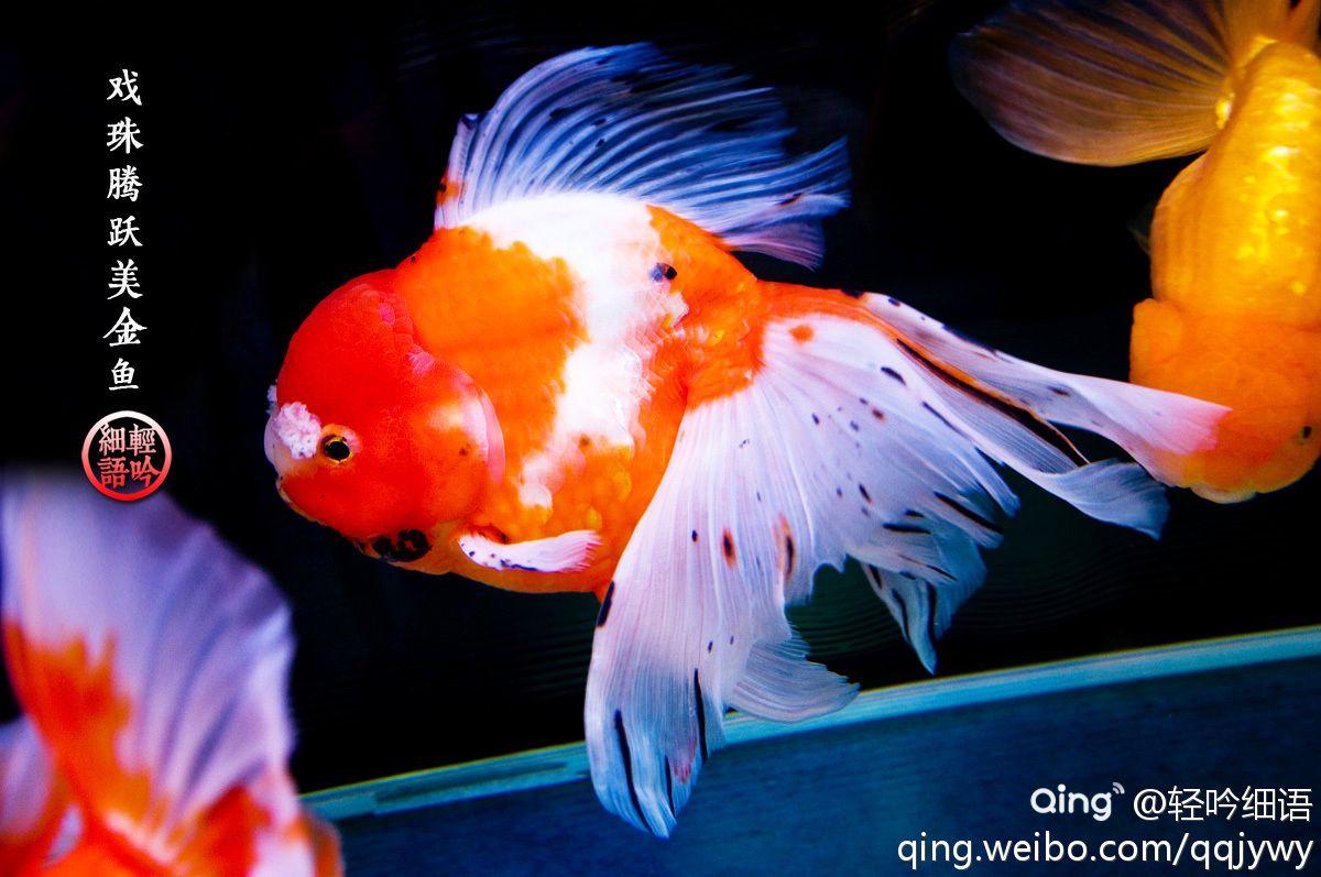 【金鱼诗8 ● 戏珠腾跃美金鱼】