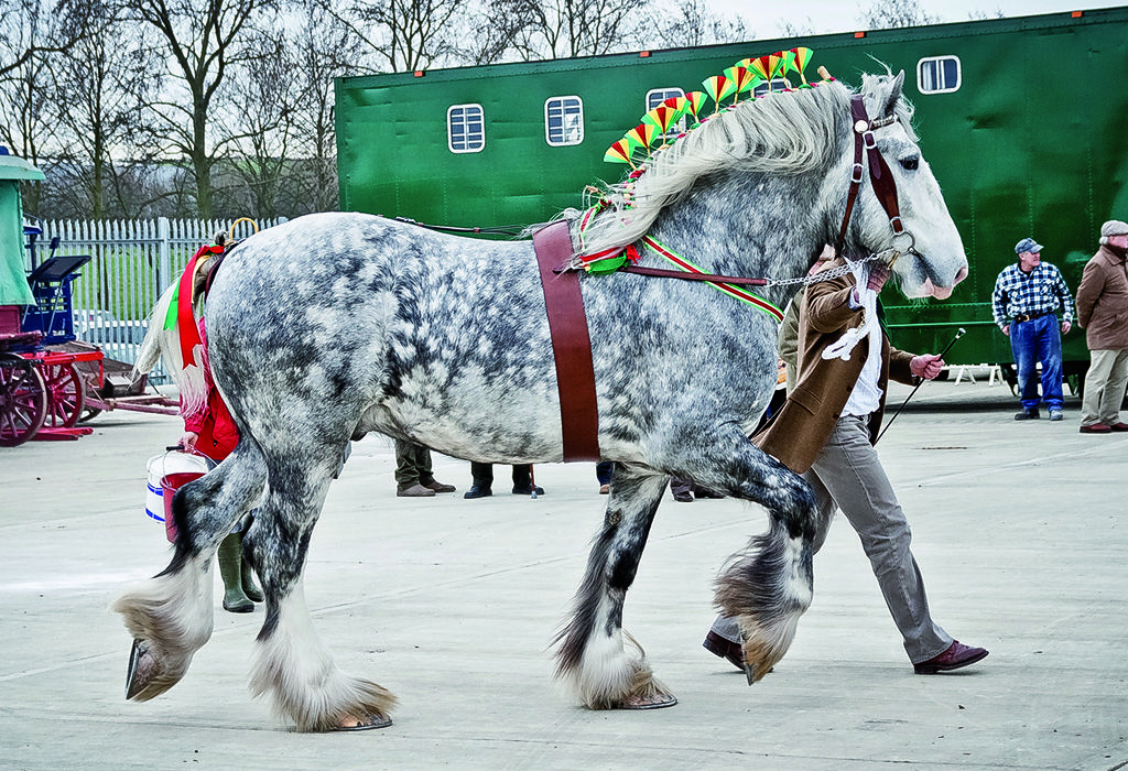 The Majesty and Power of the Shire Horse represented in ...