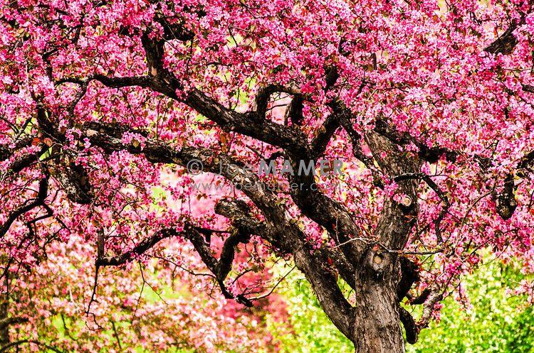 Apple Trees In Bloom Joe Mamer Photography Dream Garden Minnesota Landscaping Beautiful Tree