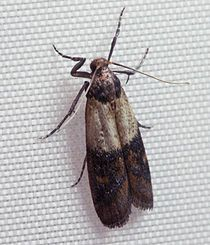 c3b736351cc133ebea6361de740c5936 - How To Get Rid Of Pantry Moths And Larvae