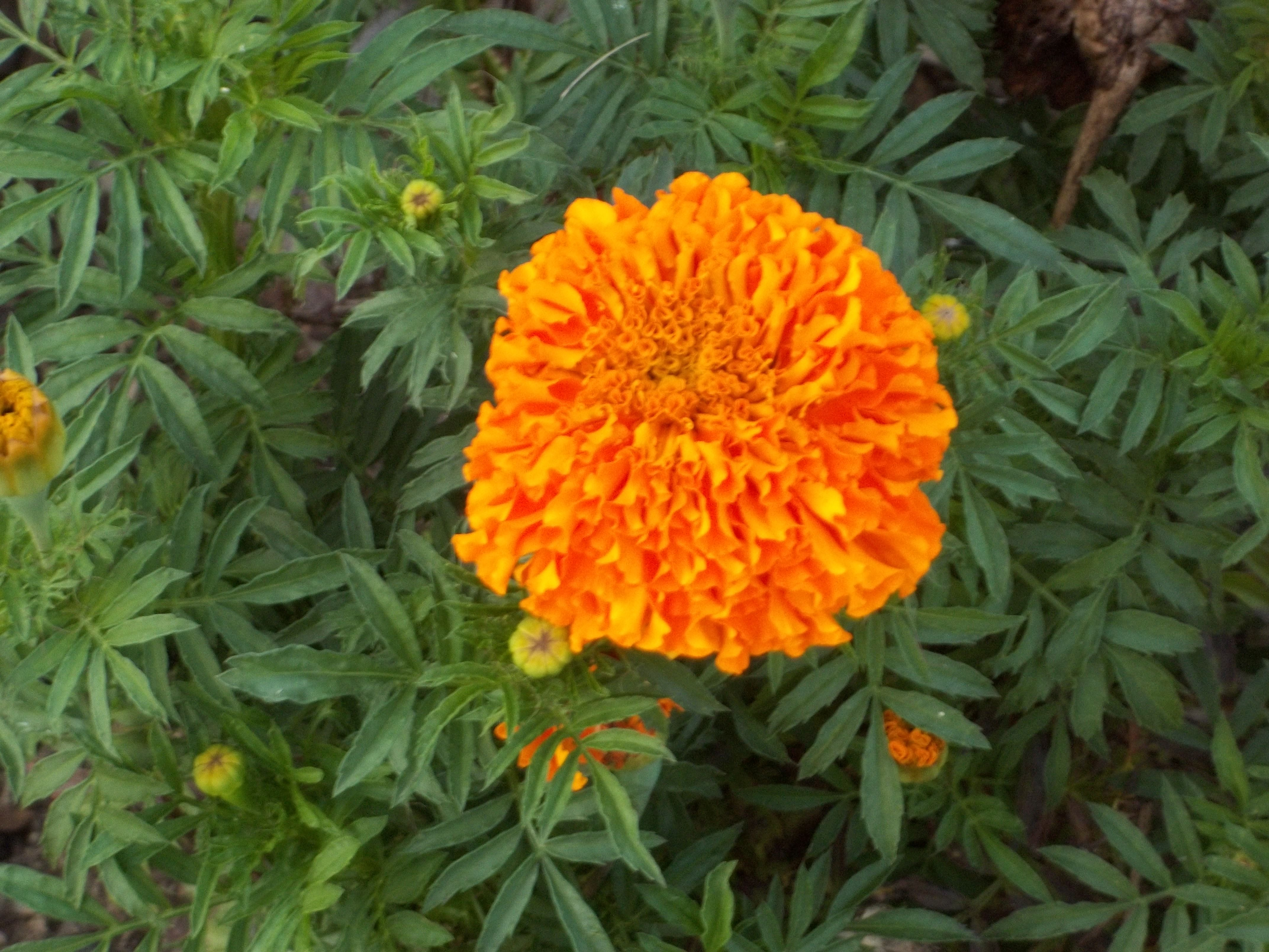 Marigold in the garden in front of the China Town office
