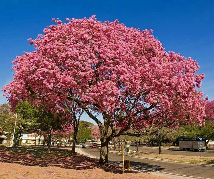 Lapacho paraguayo