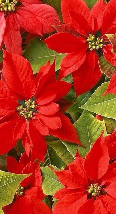 Beautiful Red Poinsettias Christmas Flowers Beautiful Flowers Pretty Flowers