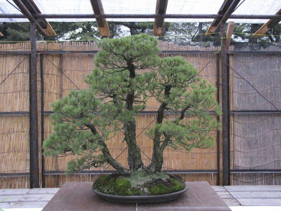 Multi-trunk five needle pine bonsai