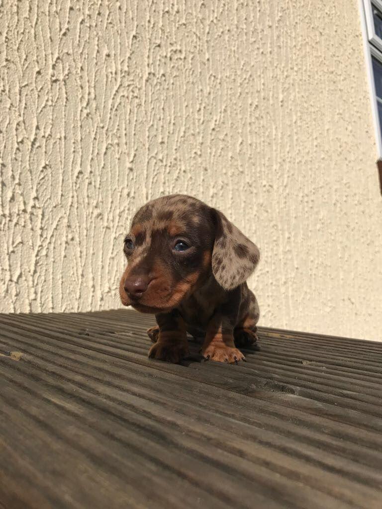 K C Registered Miniature Dachshund Pra Clear Puppy Puppies