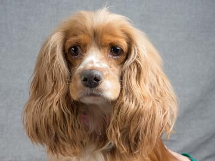 Meet Haven A 4 Years 6 Months Spaniel American Cocker Available For Adoption In Colorado Springs Co Spaniel Dog Adoption Dogs