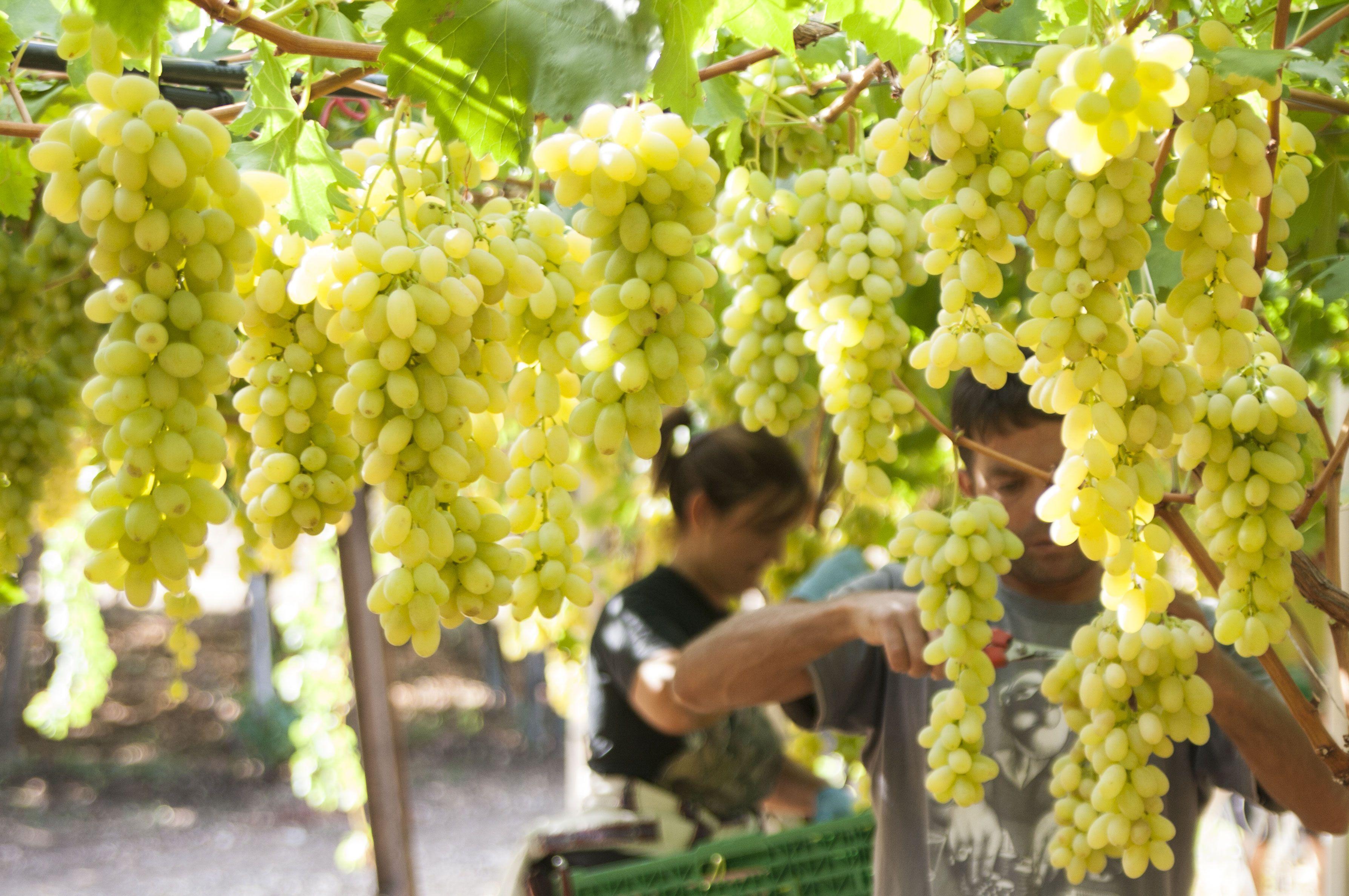 Uva Pizzutella Di Adelfia (Bari) #Grapes