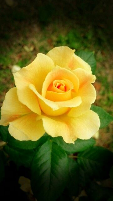 My Yellow Rose Of Texas …