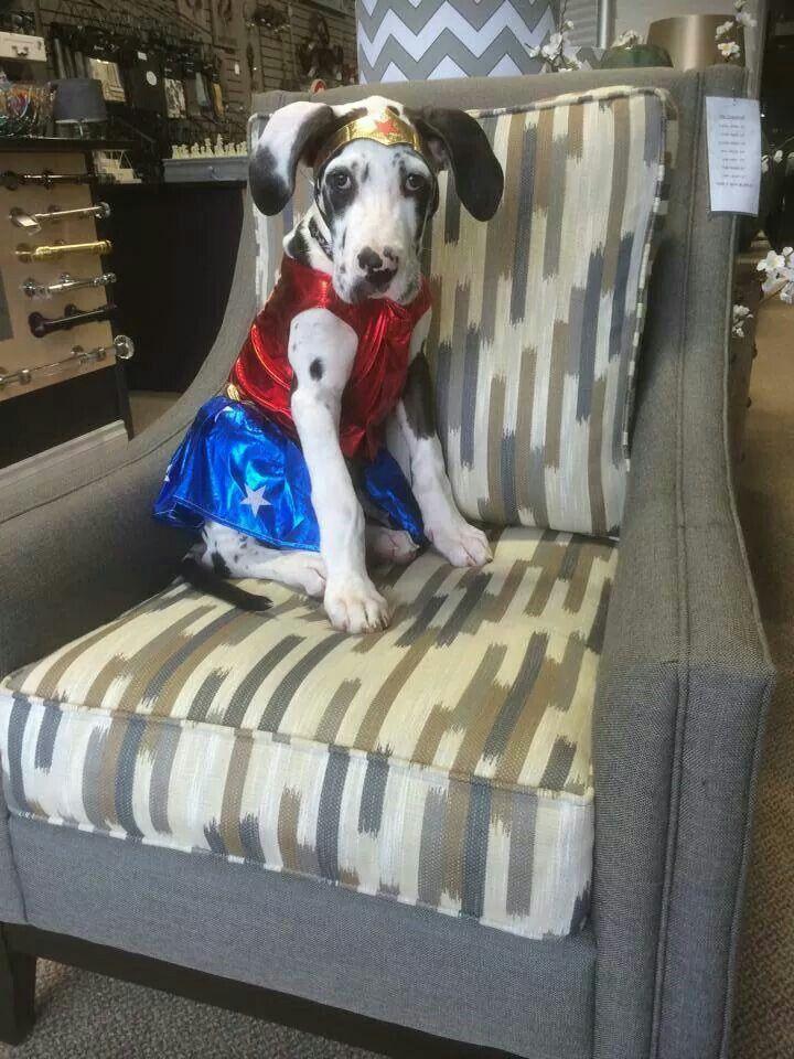 Floppy Eared Harlequin Great Dane Puppy As Wonder Woman Great