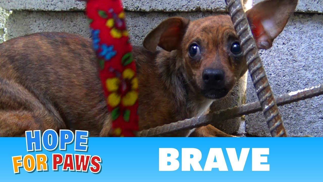 After Being Used For Breeding Little Brave Was Abandoned On The