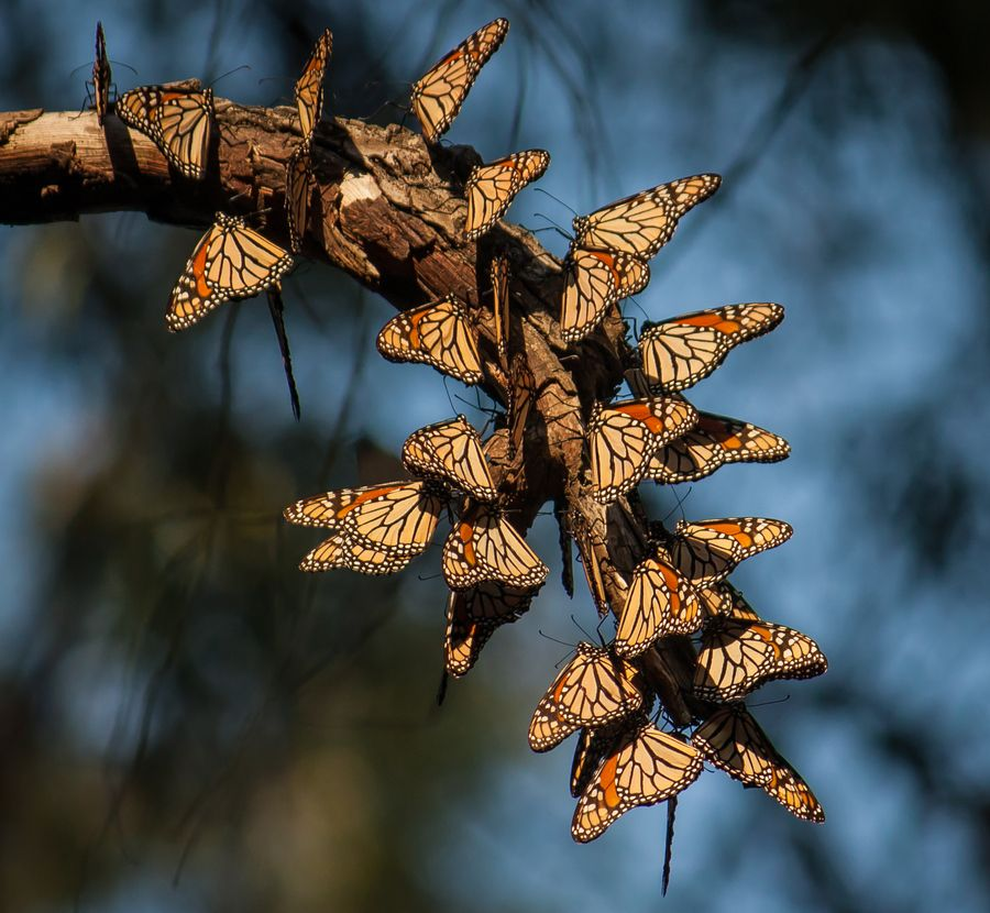 The Monarch Migration  Every year millions of butterflies migrate from Mexico to Canada. Natural Bridges State Park is one of the many places you can see them in California from October to March.