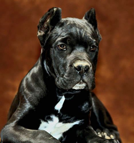 About Time S Domino Cane Corso Puppy From Rothorm Jy Dream Quantum Of Solace X Rothorm Jy Dream Quimera Visit Our Website Www Aboutt Cane Corso Dog Cane Corso