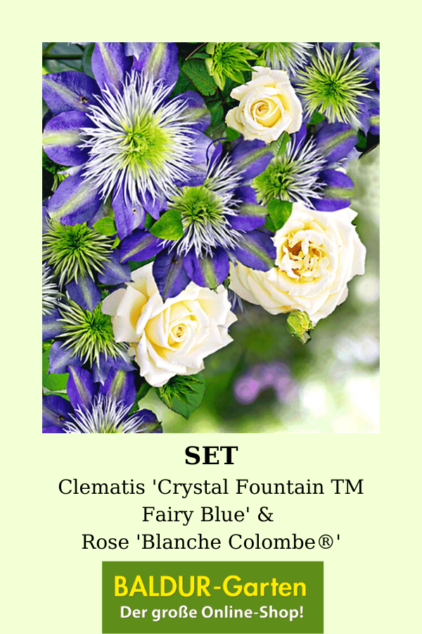 Set Clematis 'Crystal Fountain TM Fairy Blue' & Rose 'Blanche Colombe'