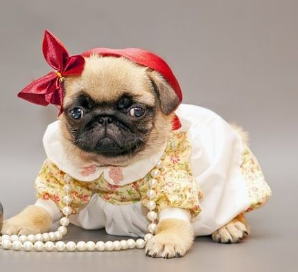 All Dressed Up Nowhere To Go Cute Animals Pinterest Pugs