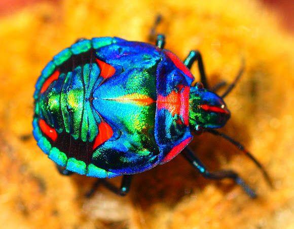 Cotton Harlequin Bug  Tectocoris diophthalmus