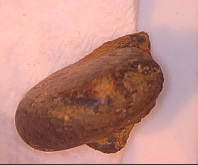 Small shell from concretion West Witterings.I.D.?
