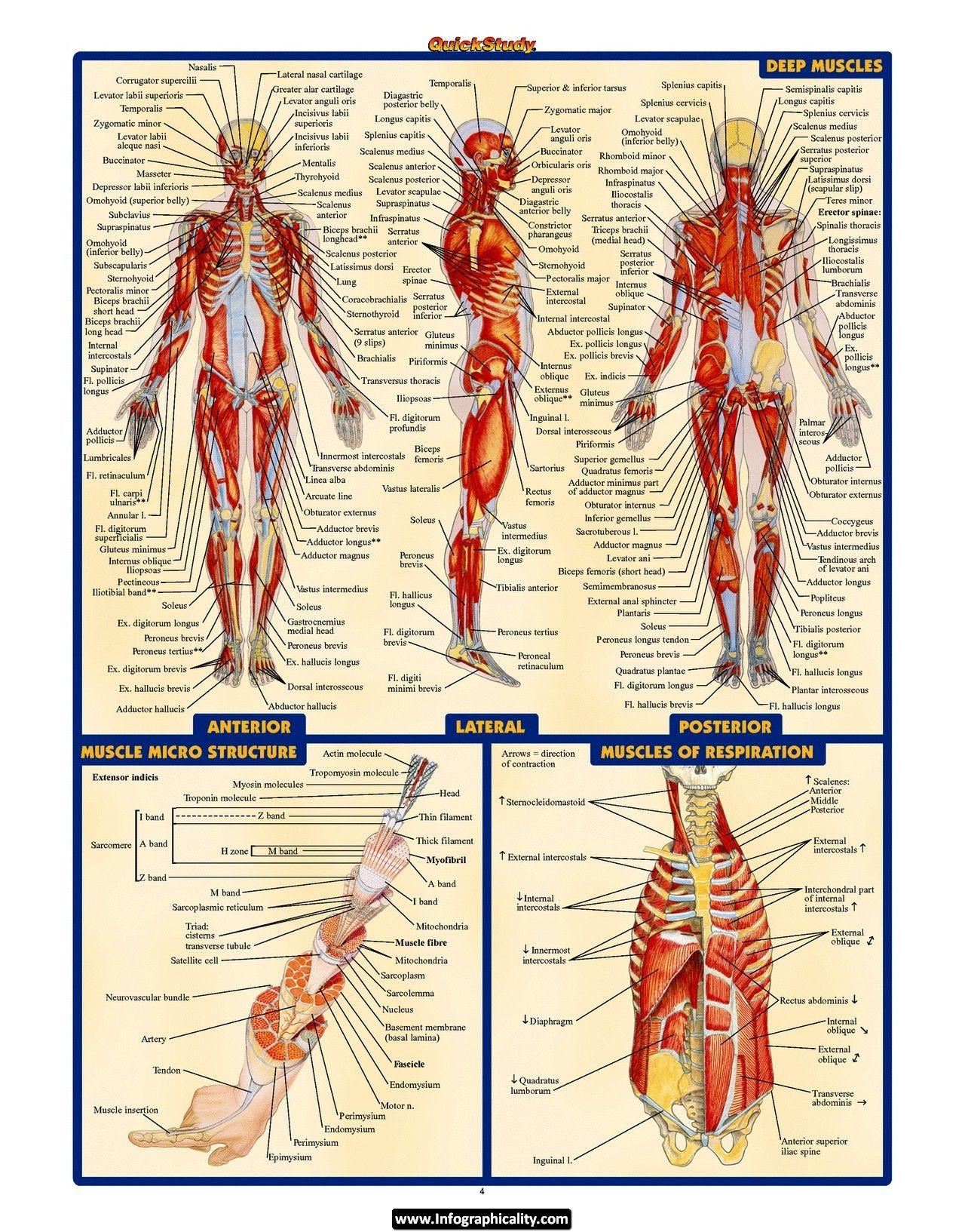 Pin By Anthony Polichetti On Body Stuff Pinterest Anatomy Human