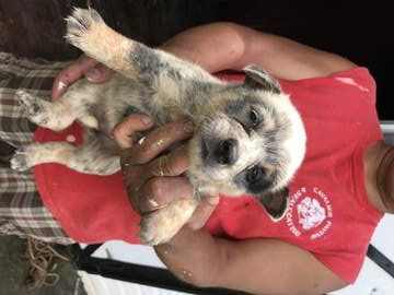 Litter Of 9 Australian Cattle Dog Puppies For Sale In Enfield Nc Adn 32536 On Puppyfinder Com Gender Cattle Dog Australian Cattle Dog Puppy Puppies For Sale