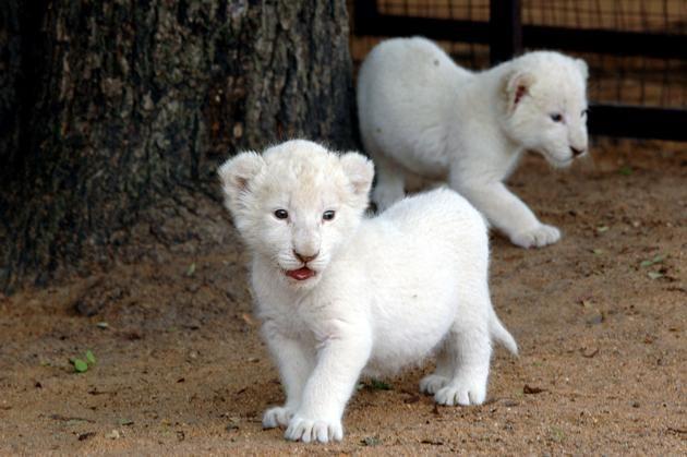 Ein Echter Bruller Das Sind Die Teuersten Tiere Der Welt Animals Beautiful Cute Baby Animals Baby Animals