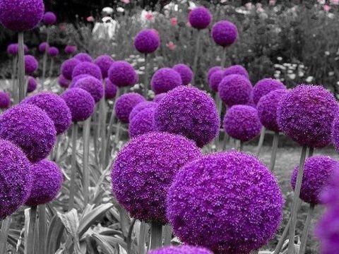 Puffball Flower in - PURPLE   Artwork   Pinterest   Flower, Flowers ...